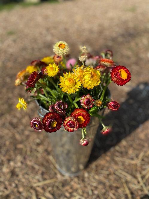 Strawflower mixed colours - 9cm pot