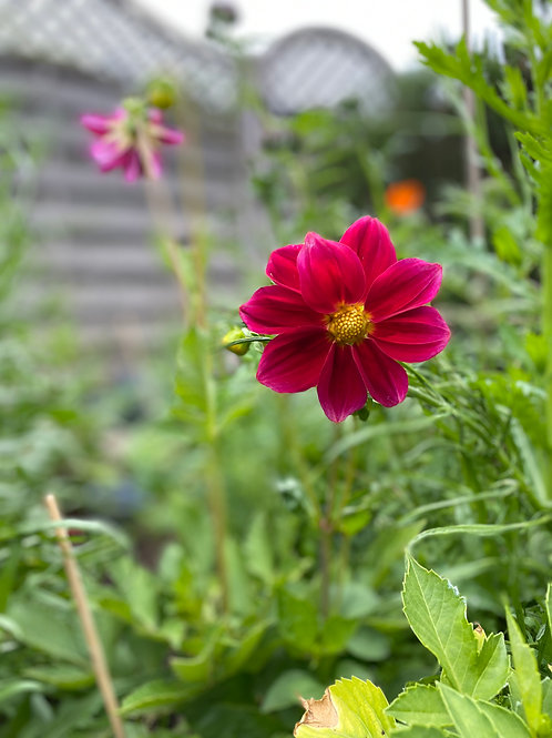 Summer Plant Duo - Dahlia, Poppy or Cosmos