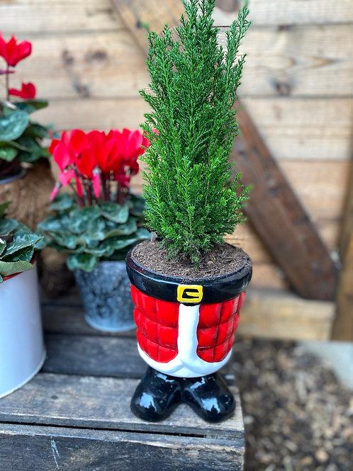 Conifer in Santa pot