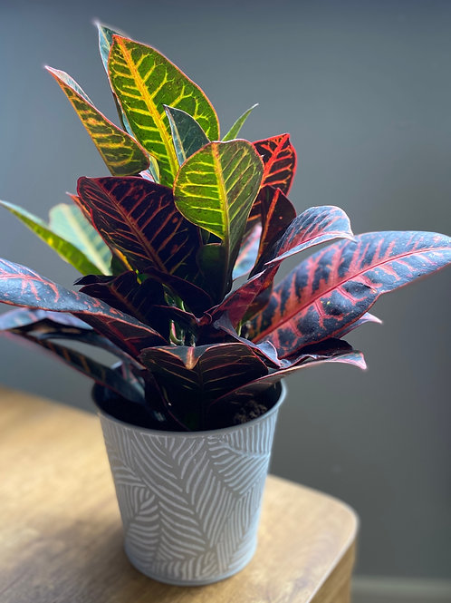 Codiaeum in grey leaf pot