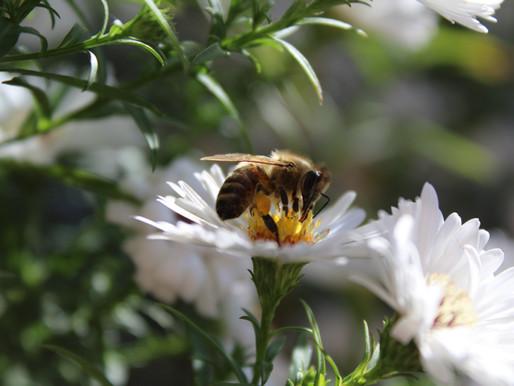 Los agroquímicos, son causa de la pérdida de abejas