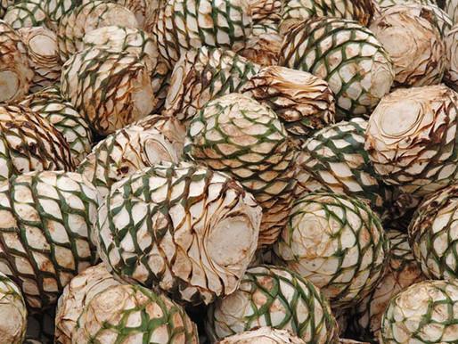 Universitarios convierten residuos del tequila en harina