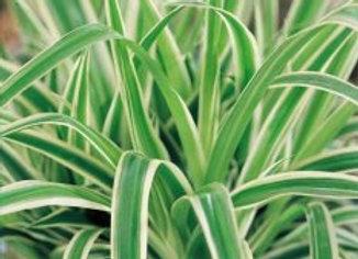 Chlorophytum comosum (pot 4'')