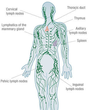lymphatic_system_1.jpg