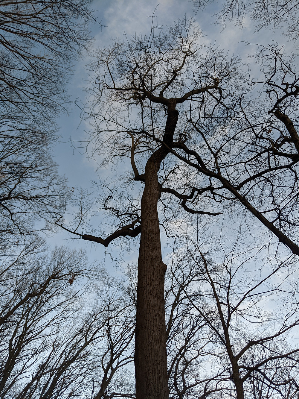 photo looking up to trees without leaves, reaching into sky with puffy clouds