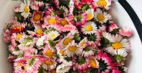 Faire un macérât huileux de fleurs fraîches (Bellis)