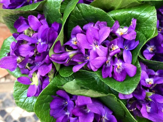 Raminhos de violeta