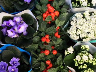 Violetas, Capsicum & Kalanchoes