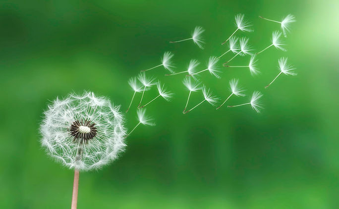 green dandelion-seeds.jpg