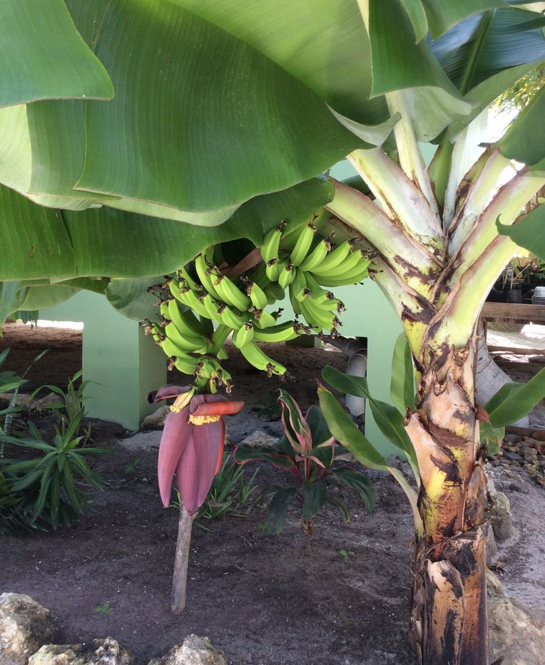 One of our Banana Trees
