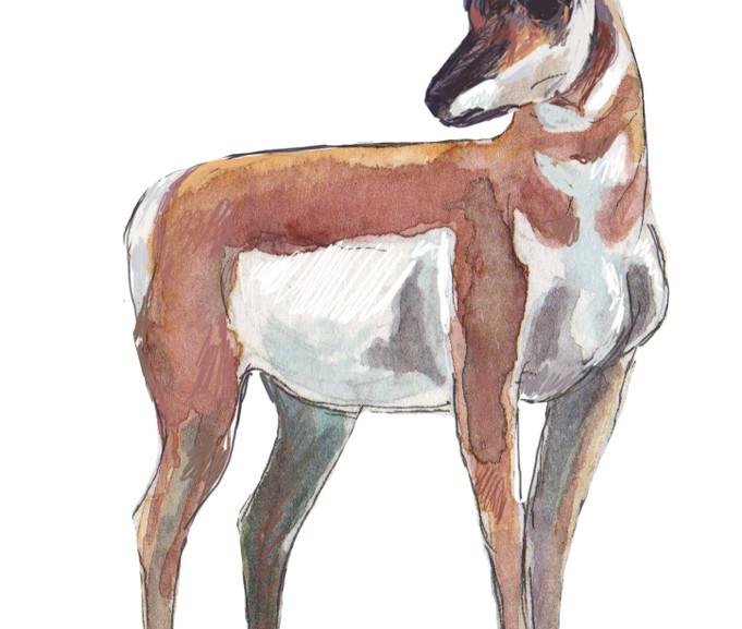 pronghorn buck