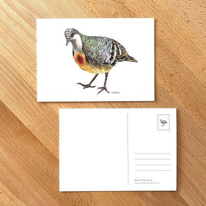 Postkarte Dolchstichtaube