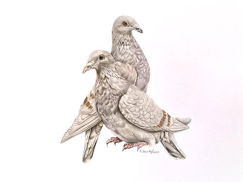 Taubenpaar grau