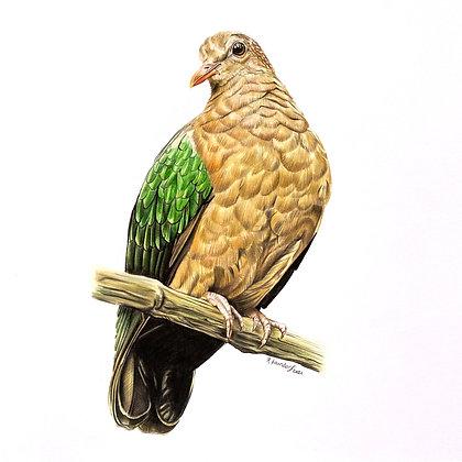 Grünflügeltaube