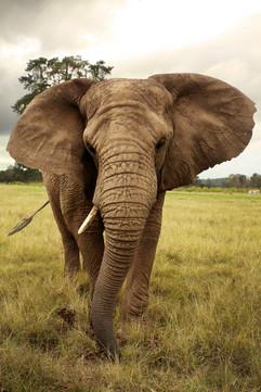 Elephant Tsitsikama.jpg