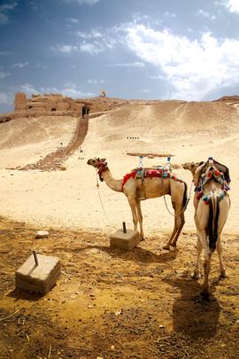 Aswan Camels (4x6) METAL.jpg
