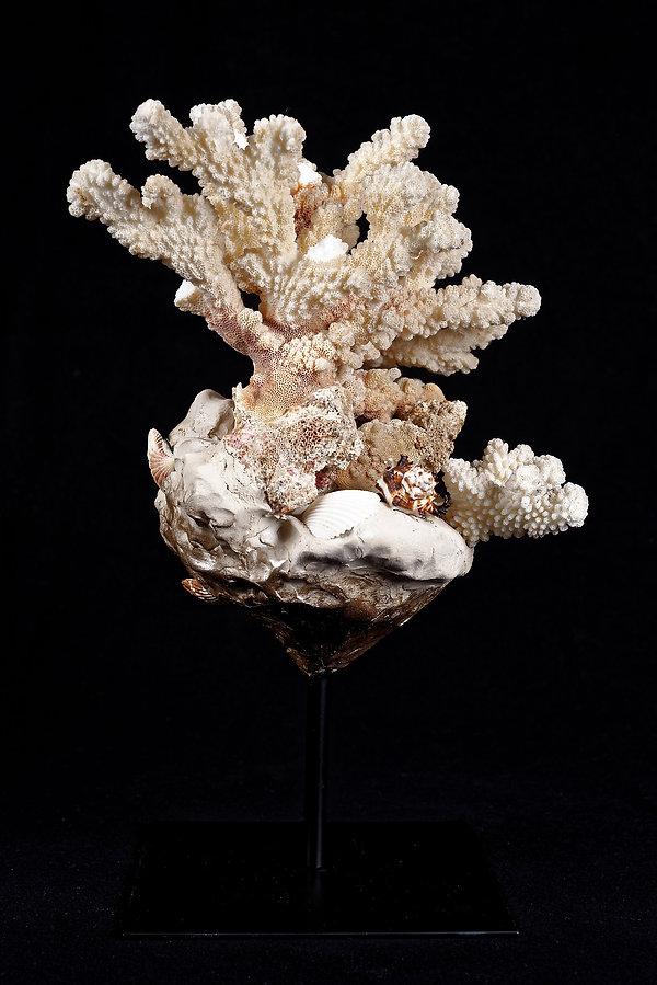 Corail, coral, Anna Wode