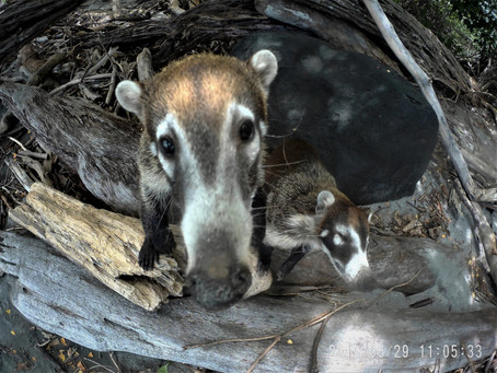 CUTE COATIMUNDI PIC'S