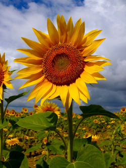 Sunflowers in French summer