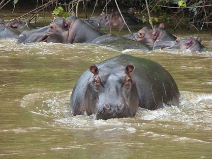 hippo, lake mburo, safari, uganda tour, east african discovery