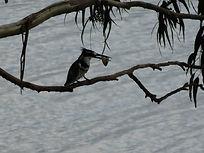 kingfisher, rwanda, rwanda tour