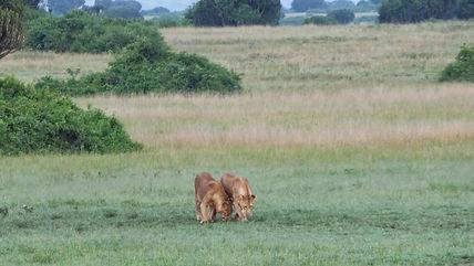 lions rwanda, safari rwanda, rwanda tour, akagera national park