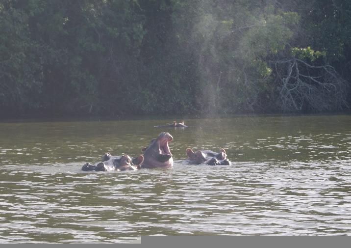 Baby hippo yawning oo the boat safari