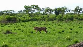 lion, rwanda, rwanda tour