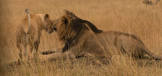 lion family, uganda, uganda tour