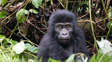 gorilla, baby gorilla, uganda, rwanda