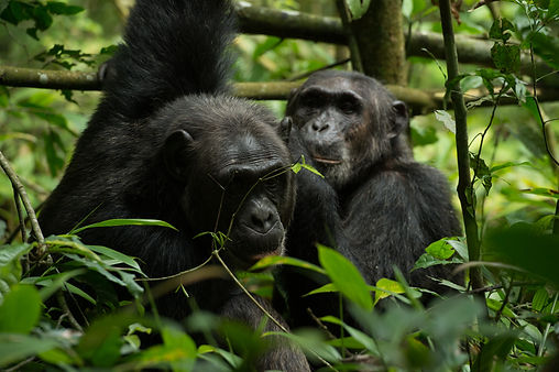 chimpa, chimpanzees, kibale forest, uganda national park, uganda safari, east african discovery