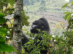 gorilla, uganda, uganda tour, rwanda, rwanda tour