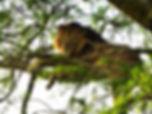 tree climbing lion, uganda, queen elizabeth national park