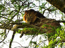tree climbing lion, uganda, queen elizabeth national park