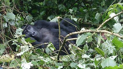 gorilla, uganda, uganda tour