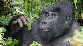 gorilla, rwanda, rwanda tour