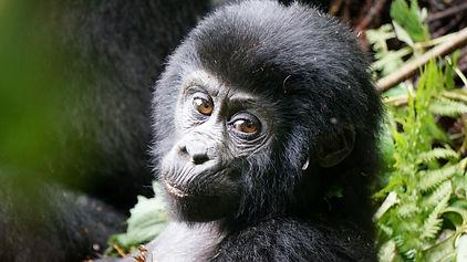 baby gorilla, bwindi, uganda, safari