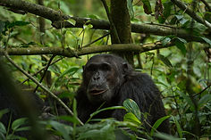 chimpanzee, rwanda, rwanda tour