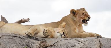 lioness, uganda tour operator, uganda