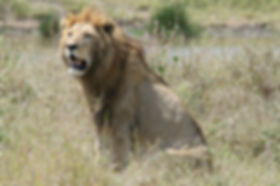 lion, murchison falls, uganda, safari, tour