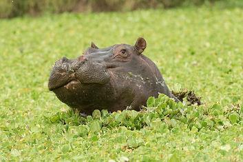 Hippo, Uganda, safari, tour, east african discovery