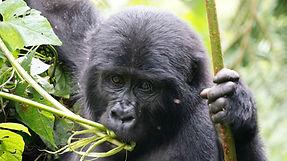 baby gorilla, uganda, uganda tour