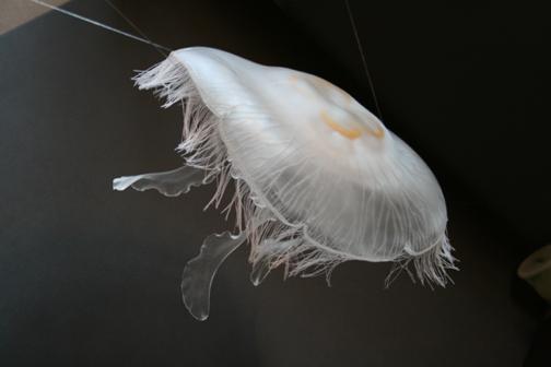 Moon Jelly, Aurelia aurelia