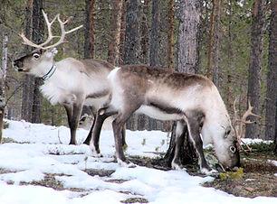 reindeer-697283_1920.jpg