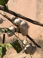 Indian Forest Silk Cocoons.jpeg