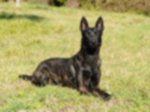 Portrait of Dutch Shepherd Dog in outdoo
