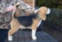 Farrell Xandrina beagle