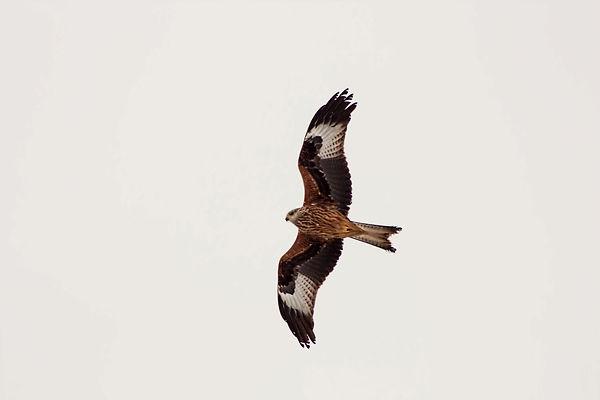 red_kite1-1024x683.jpg