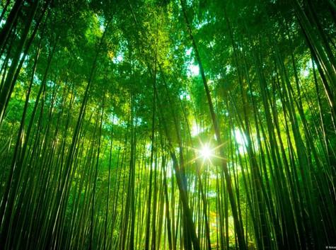 SARATOGA BAMBOO FOREST.jpg