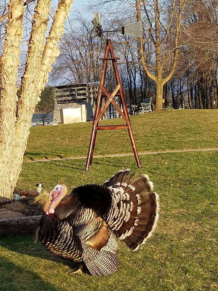 Wallace & Gwen ~The Turkeys